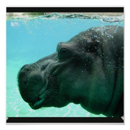 Swimming Hippo Poster