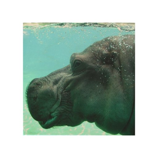 Swimming Hippo Wood Prints