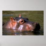 Swimming Lessons Hippopotamus Portrait Poster