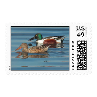 Swimming Northern Shovelers Postage Stamps