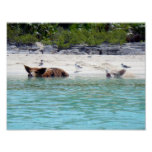Swimming Pigs in Beach Poster