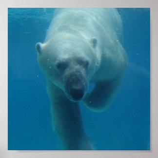 Swimming Polar Bear  Poster