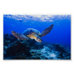 Swimming Sea Turtle in blue water Posters