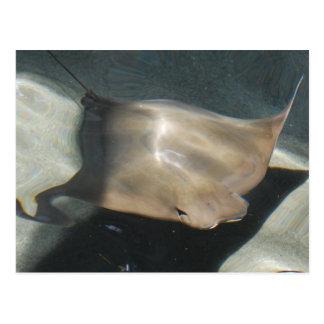 Swimming Stingray Postcards