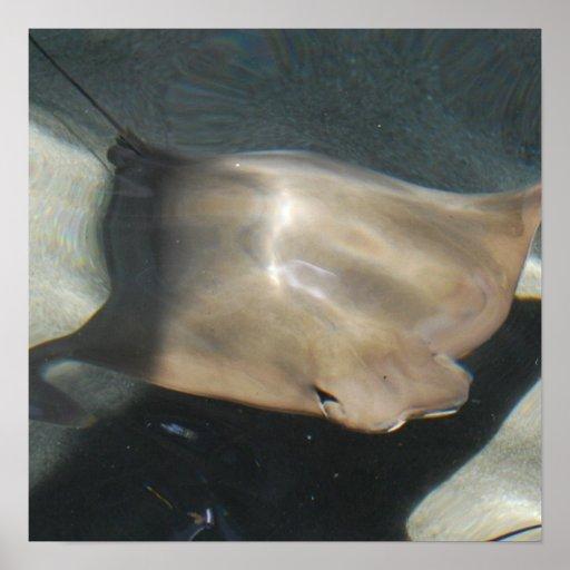 Swimming Stingray Poster