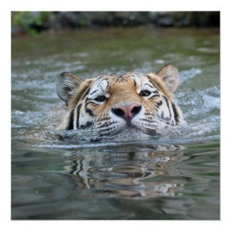 Swimming_Tiger Poster