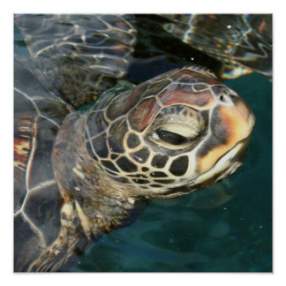 Swimming Turtle Poster