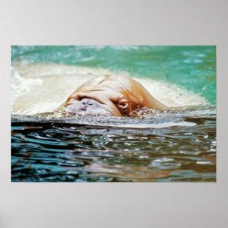 Swimming Walrus Poster