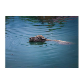 Swimming Water Buffalo Acrylic Print