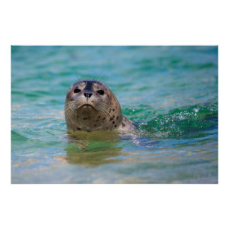 Swimming with a baby seal print