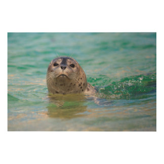 Swimming with a baby seal wood print