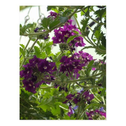 Swirling Purple Verbena Postcard