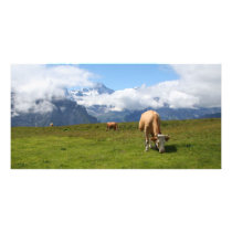 Switzerland photo card with cows and Eiger