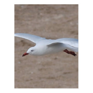 Swooping Gull Postcard