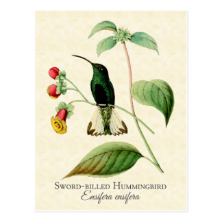 Sword Billed Hummingbird Vintage Art Postcard