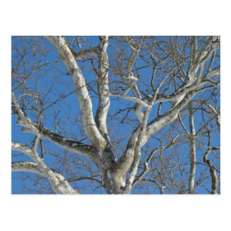Sycamore Tree Against Winter Sky Items Postcard