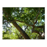 Sycamore Tree Green Nature Photography Postcard