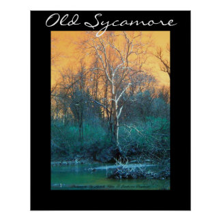 Sycamore Tree, Old Sycamore Poster
