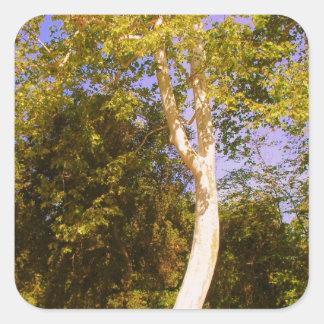 Sycamore Tree Square Sticker