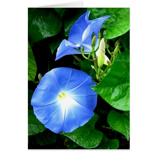 Sympathy - Heavenly Blue Morning Glory Greeting Card