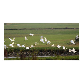 Synchronic flying of Great Egrets. Photo Card