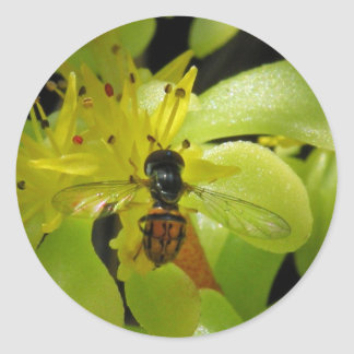 Syrphid Fly on Sedum Stickers