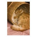 Tabby anaranjado que duerme en cesto fotografías
