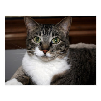 Tabby Cat Looking at You Postcard