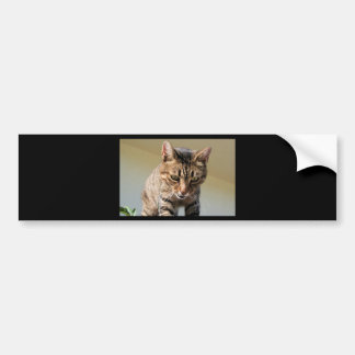 Tabby Cat Looking Down From A Height Bumper Sticker
