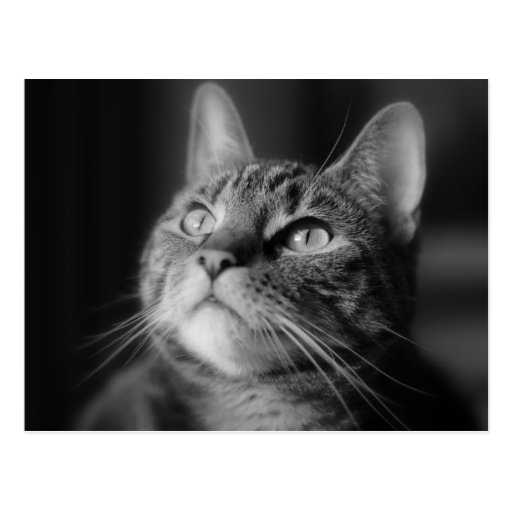 Tabby Cat Photography Black and White Postcard