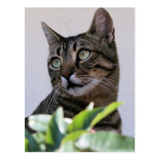 Tabby Cat Sitting In The Shade Behind Passiflora V Post Card