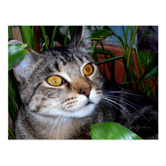 Tabby Cat with Copper Eyes Postcard
