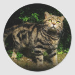 Tabby de Brown - pegatina del gato