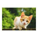 Tabby de oro y gatito blanco impresiones en lona estiradas