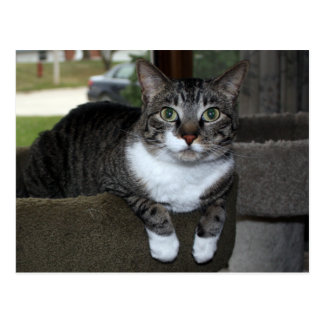 Tabby Housecat in Front of Window Postcard
