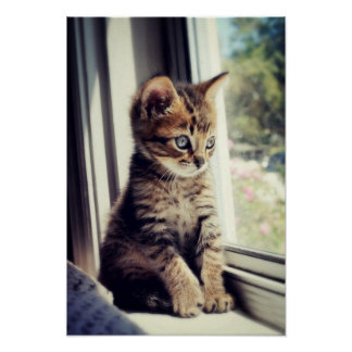 Tabby Kitten Watching Out Window Poster