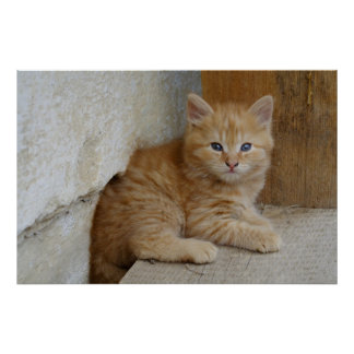 Tabby Tomcat Kitten Poster