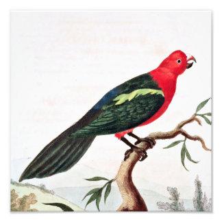Tabuan Parrot Illustration Photograph