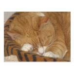 Taco the Siesta Cat Postcard