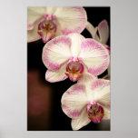 Tacto del rosa - orquídeas posters