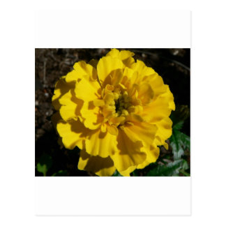 Tagetes amarillo tarjeta postal