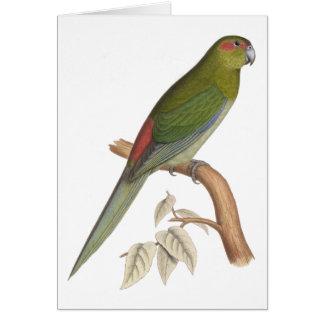 Tahiti Parakeet Illustration, c. 1849 Card