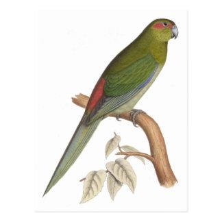 Tahiti Parakeet Illustration, c. 1849 Postcard