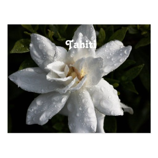 Tahitian Gardenia Postcards