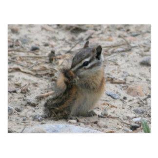 Tail Chipmunk Postcard