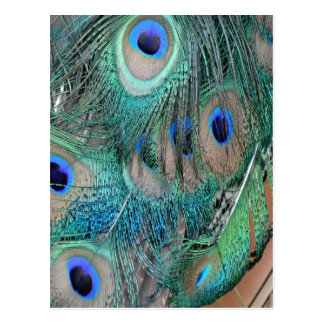 Tail feathers Of A Peafowl Postcard