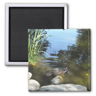 Taking a Dip - Raccoon 2 Inch Square Magnet