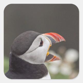 Talkative Puffin From Skomer Square Sticker