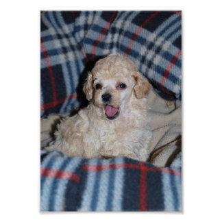 Talking Tan Toy Poodle Puppy Poster