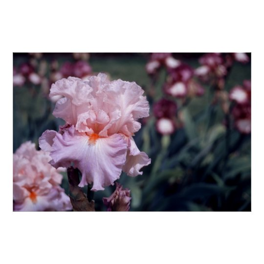 Tall Bearded Iris Boudoir Poster
